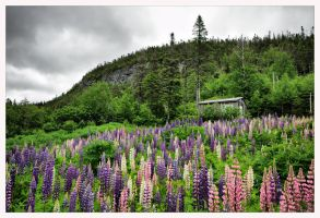 Lupins in the rain by jasonwilde
