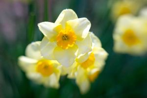 Narcissus I by LDFranklin
