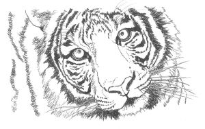 Tiger - Sketch by GabrielGrob
