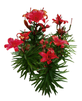 Red Lilies PNG.. by WelshDragonStockNArt