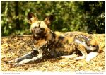 African Painted Dog by In-the-picture