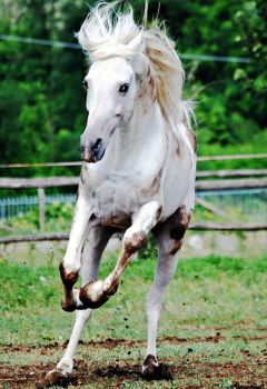 Arabian Horse Stock 16 by folipoo