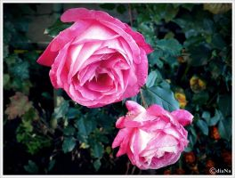 Roses by Puffy-diaNa