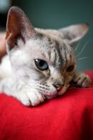 Devon Rex by ninereeds-DA