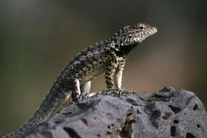 Lava Lizard - M. grayi by Serendith