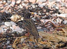Starling at Chanonry by piglet365