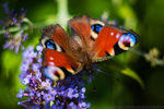 butterfly by jestembella