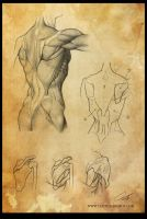 Study: The Torso / Trunk 3 (back) by Shockowaffel