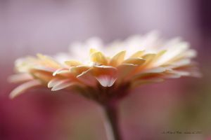 A Hint of Pink by Linda-L