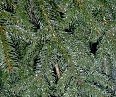 Iced spruce by marshwood