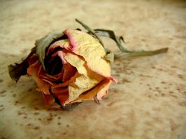 Rose by Larux
