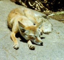 Stock - fox by dtf-stock