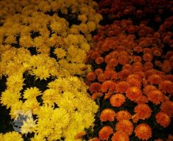 Marigolds by Pi-ray