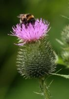 Bee on Cirsium by Camera-Pete