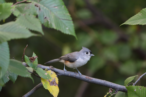 Tufted Titmouse 2 by Gerryanimator