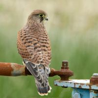 Down on the farm - Common Kestrel - male by Jamie-MacArthur