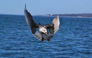 Another seagull by NiviHolm