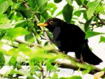 Blackbird in the Tree Tops by jessieo-photography