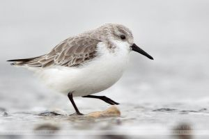 The Running Sanderling by JurgendeWitte