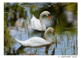 two swans by bracketting94