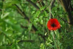 Step one to summer - hidden poppie by Lk-Photography