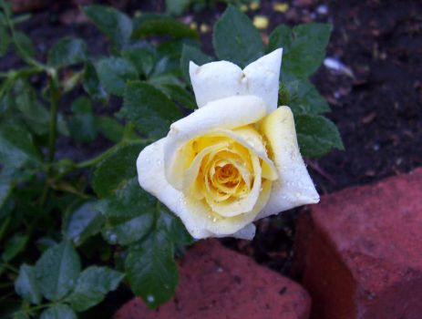 king's ransom rose by lullaby-gardens
