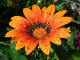 Rain on a flower by ChloeLKB