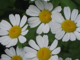 030  little daisies by crazygardener