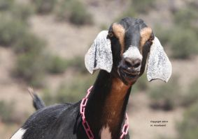 What do Goats Say? by Mulefancier