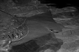 Cownose Ray by xXCold-FireXx