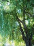 Weeping willow tree 2 by nightblue1991