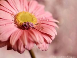 Pink gerbera with water drop by FrancescaDelfino