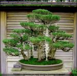 Japanese Garden 10 Bonsai by AndySerrano