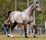 STOCK - 2014 Arabian Challenge-121 by fillyrox