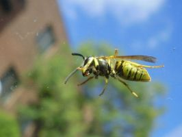Wasp on the Windshield by chibik3r0