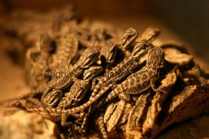 Baby Bearded Dragons by Bagoly