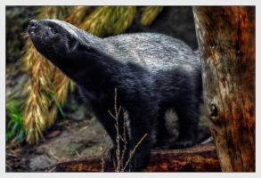 Honey Badger HDR by Dr-Koesters