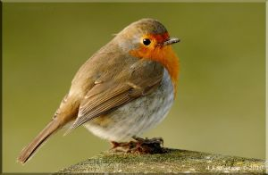 Robin II by andy-j-s