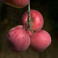 Autumn Apples by fotocali
