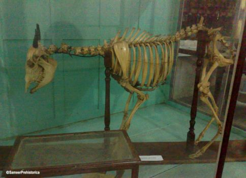 Blue Bull Skeleton by SameerPrehistorica