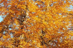 Autumn with beech by rosaarvensis