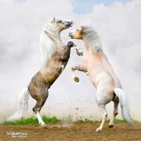 Battle of two Welsh ponies by Vikarus