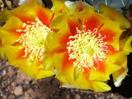 Prickly pear flowers by NewtonianNocturn