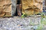 free climbing mouse by brijome