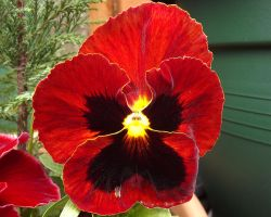 Pansy by captainflynn