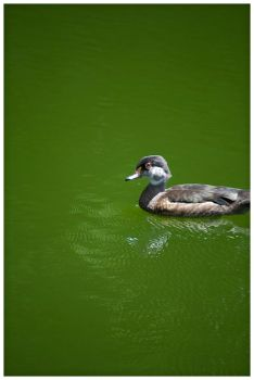 Duck by Pyratn