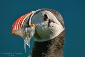 Puffin by Dark-Raptor
