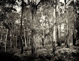Joadja Trees - Monochrome by HarryZero