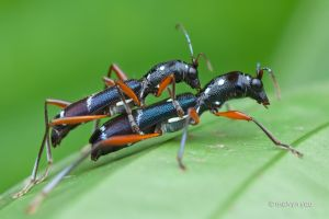 Longhorn Beetle, Sclethrus Malayanus by melvynyeo
