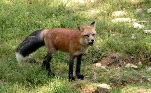 red fox with black tail by KIARAsART